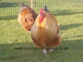 Red crele orpington chicken l1060013
