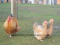 Red crele orpington chicken l1060016