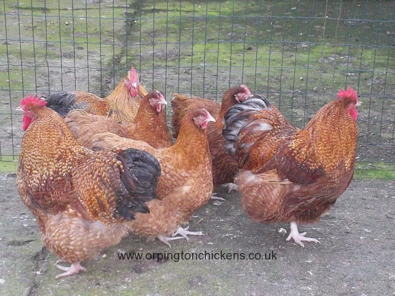 Red Cuckoo orpington chicken mixed-groups-3