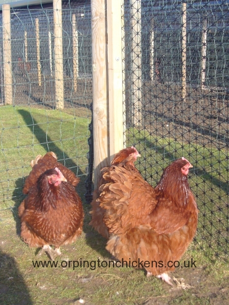 Red orpington chicken l1060484