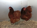 Red orpington chicken cimg0171
