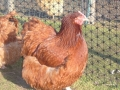Red orpington chicken l1060488