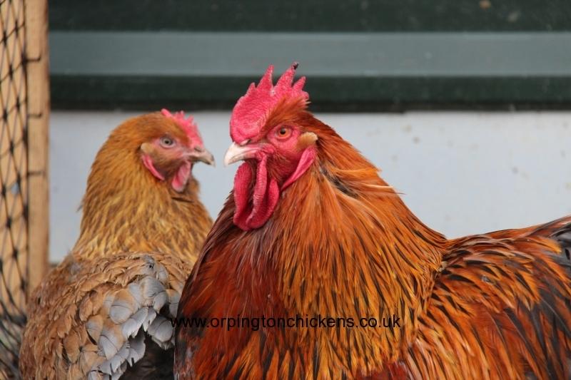 Red partridge orpington img_1195