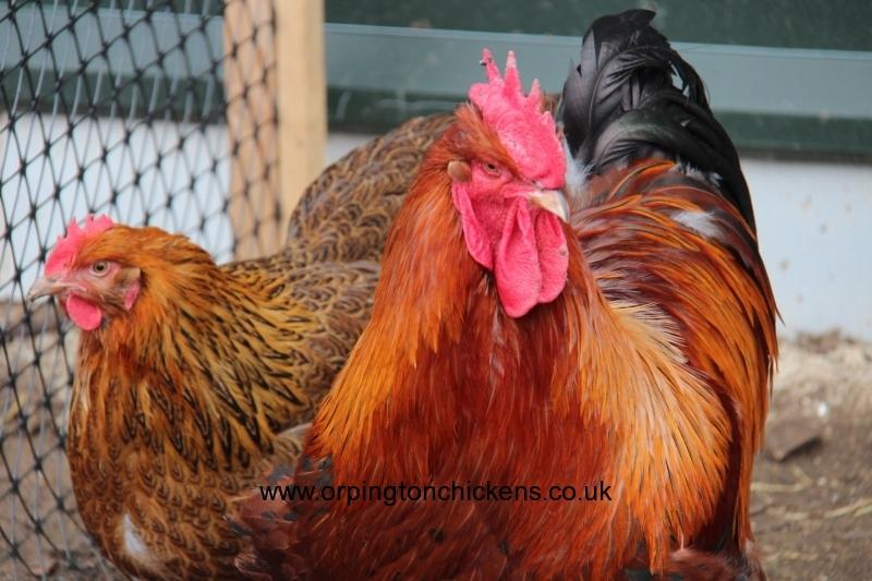Red partridge orpington img_1208