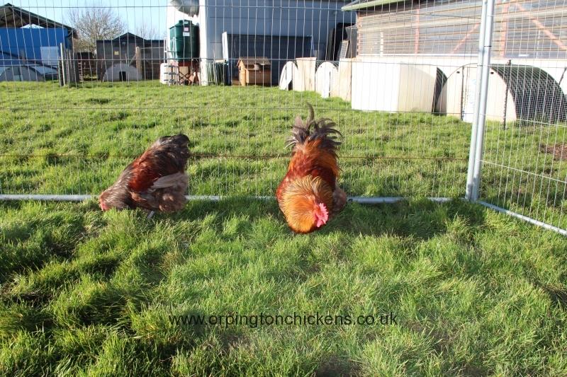 Red partridge orpington img_3559