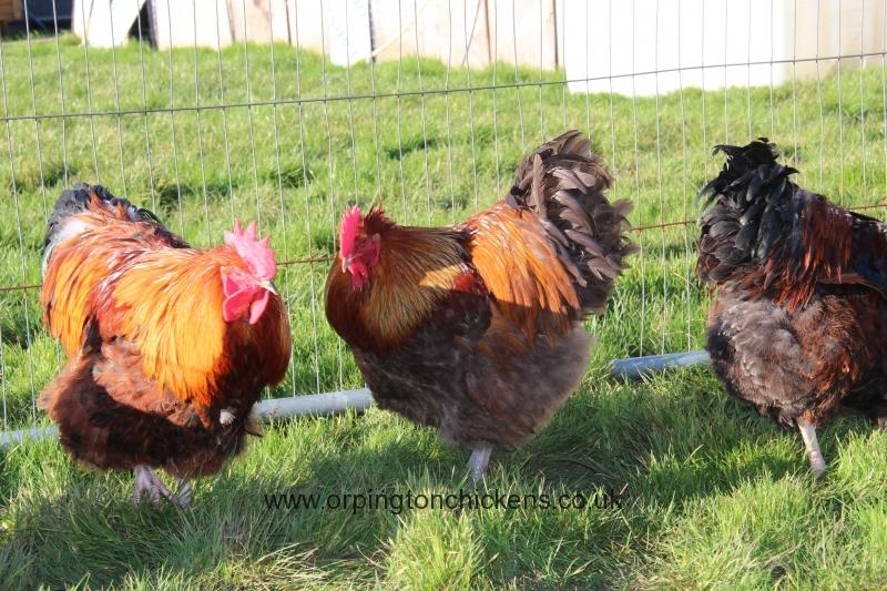 Red partridge orpington img_3565