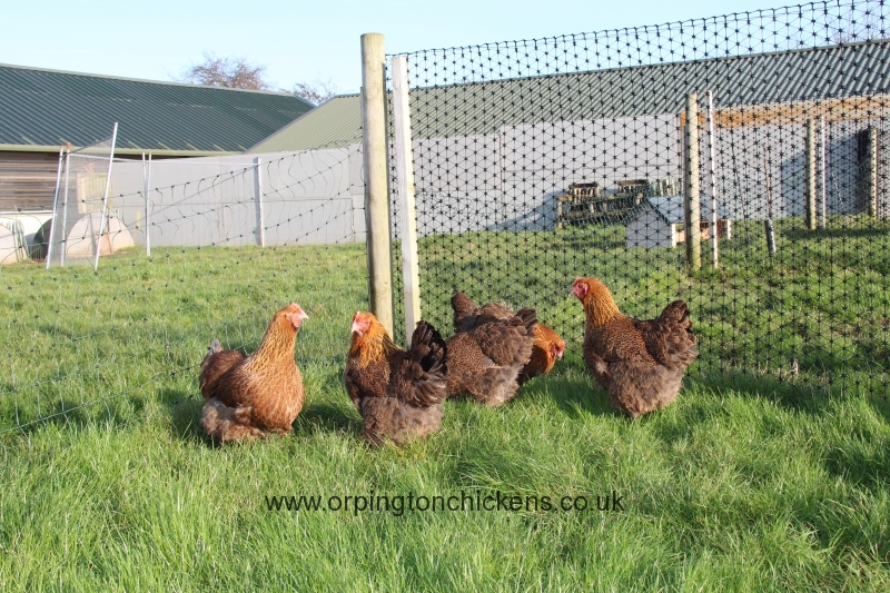 Red partridge orpington img_3975