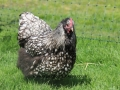 Silver laced orpington chicken img_1423