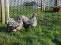 Silver laced orpington chicken img_4032