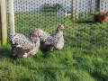 Silver laced orpington chicken img_4033