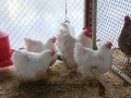 white orpington chicken cimg0135