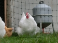 white orpington chicken cimg1489