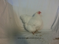 white orpington chicken cimg2308