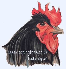 Black orpington chicken drawn in pencil