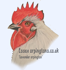 lavender orpington chicken pencil drawing
