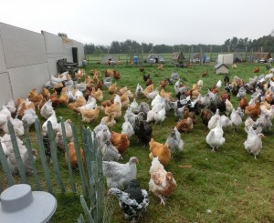 Large flock of orpington chickens at Essex orpingtons