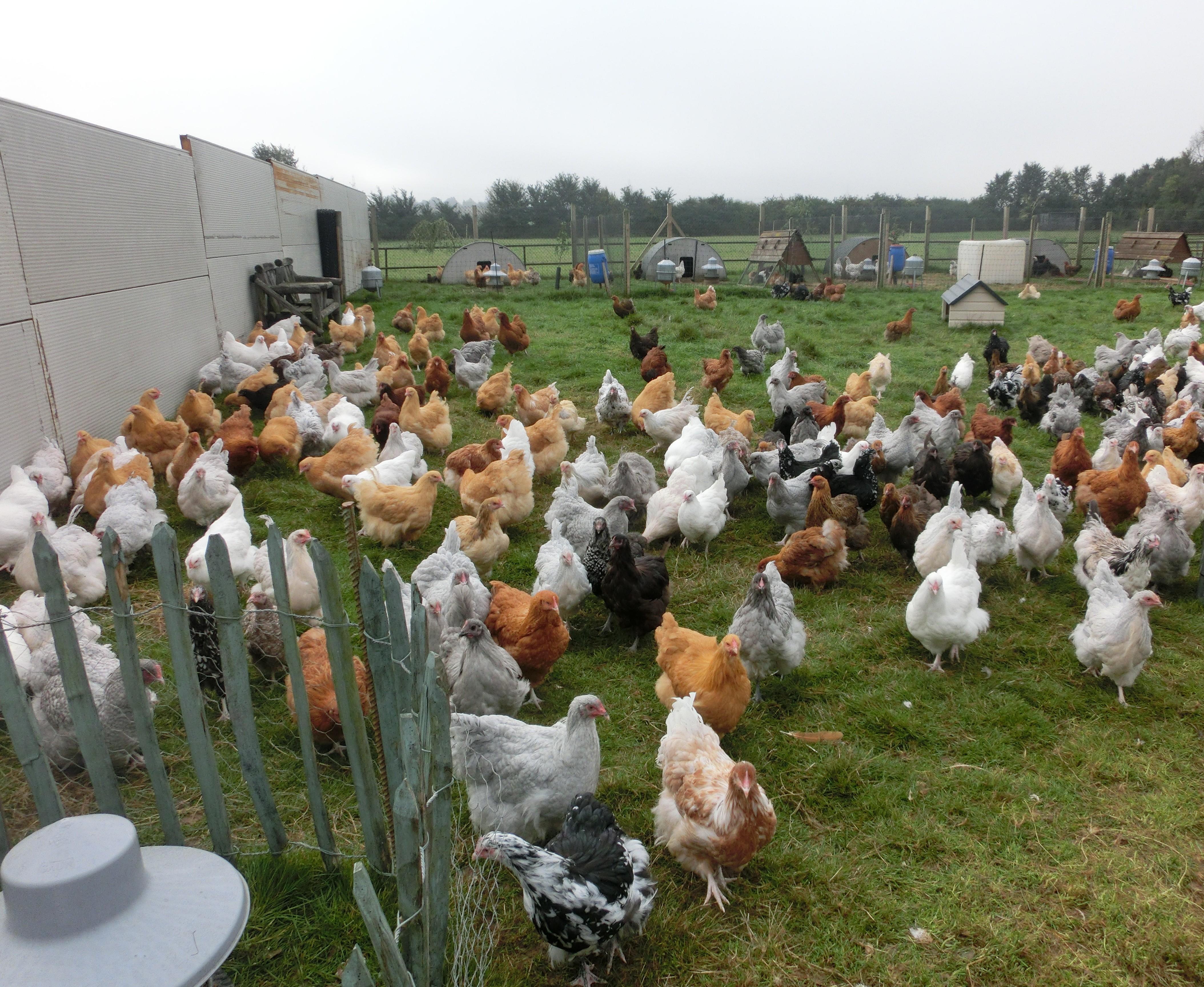 Orpington Chickens Essex Orpingtons
