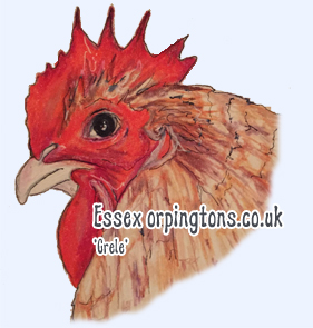 Crele orpington Chicken