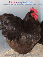 Chocolate Orpington pullets for sale