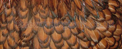 Gold Laced Orpington hatching eggs ( £2.50 each )