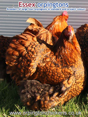 Gold Laced Orpington pullets for sale